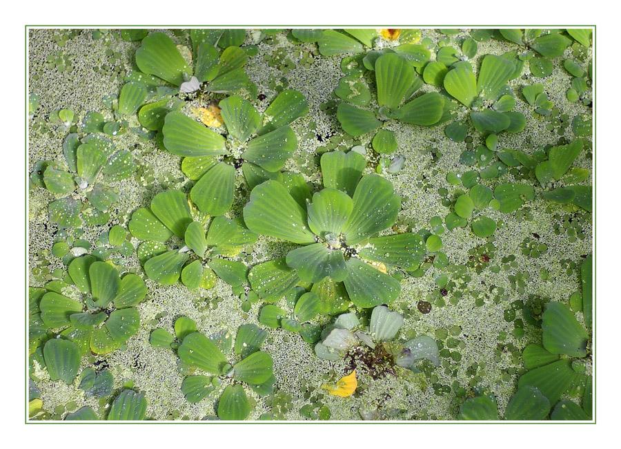 Wasserballett in grün