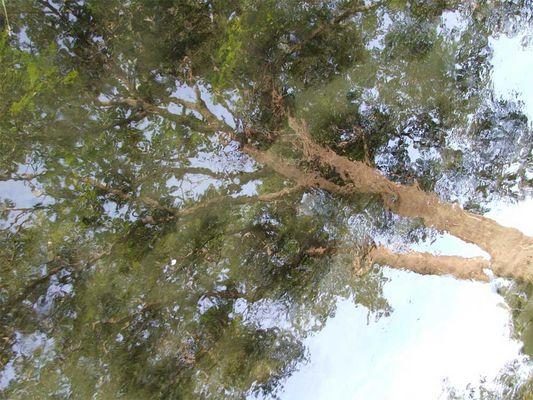 Wasserbaum
