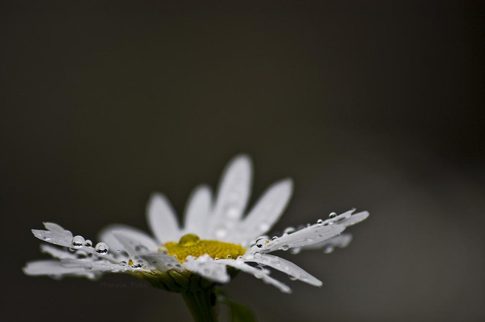 Wasserblume