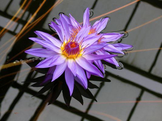 Wasserblume m. Spiegelung