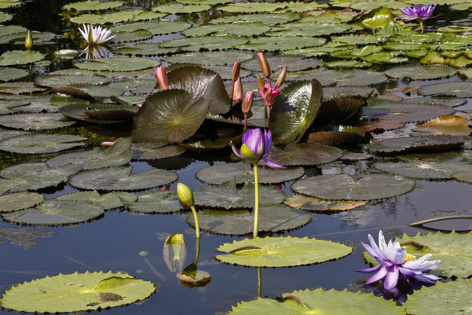 Wasserblumen-Wilhelma 8