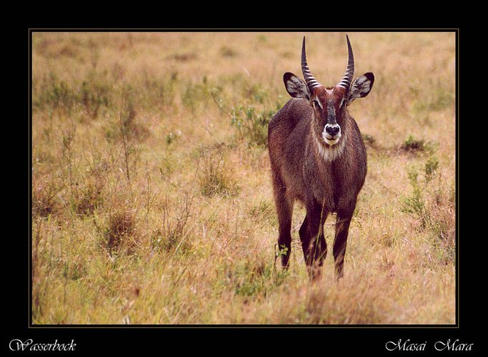 Wasserbock im Masai Mara (reload)