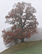 Wasserbuckel - Eiche im Novembergrau