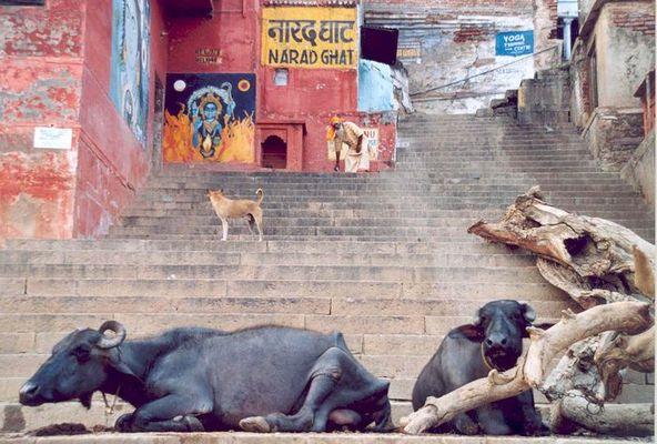 Wasserbüffel an den Ghats in Varanasi