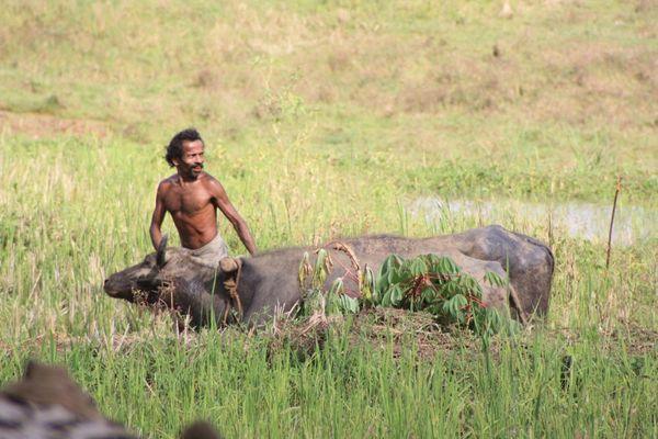 Wasserbüffel im Reisfeld