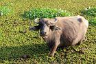 Wasserbüffel im Salatbeet eingesunken!