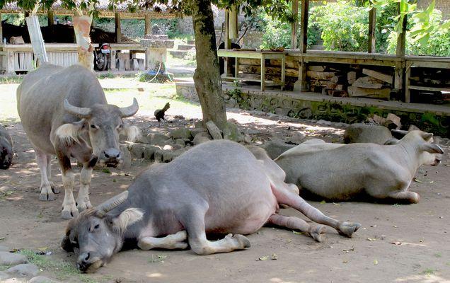 Wasserbüffel  in Tenganan