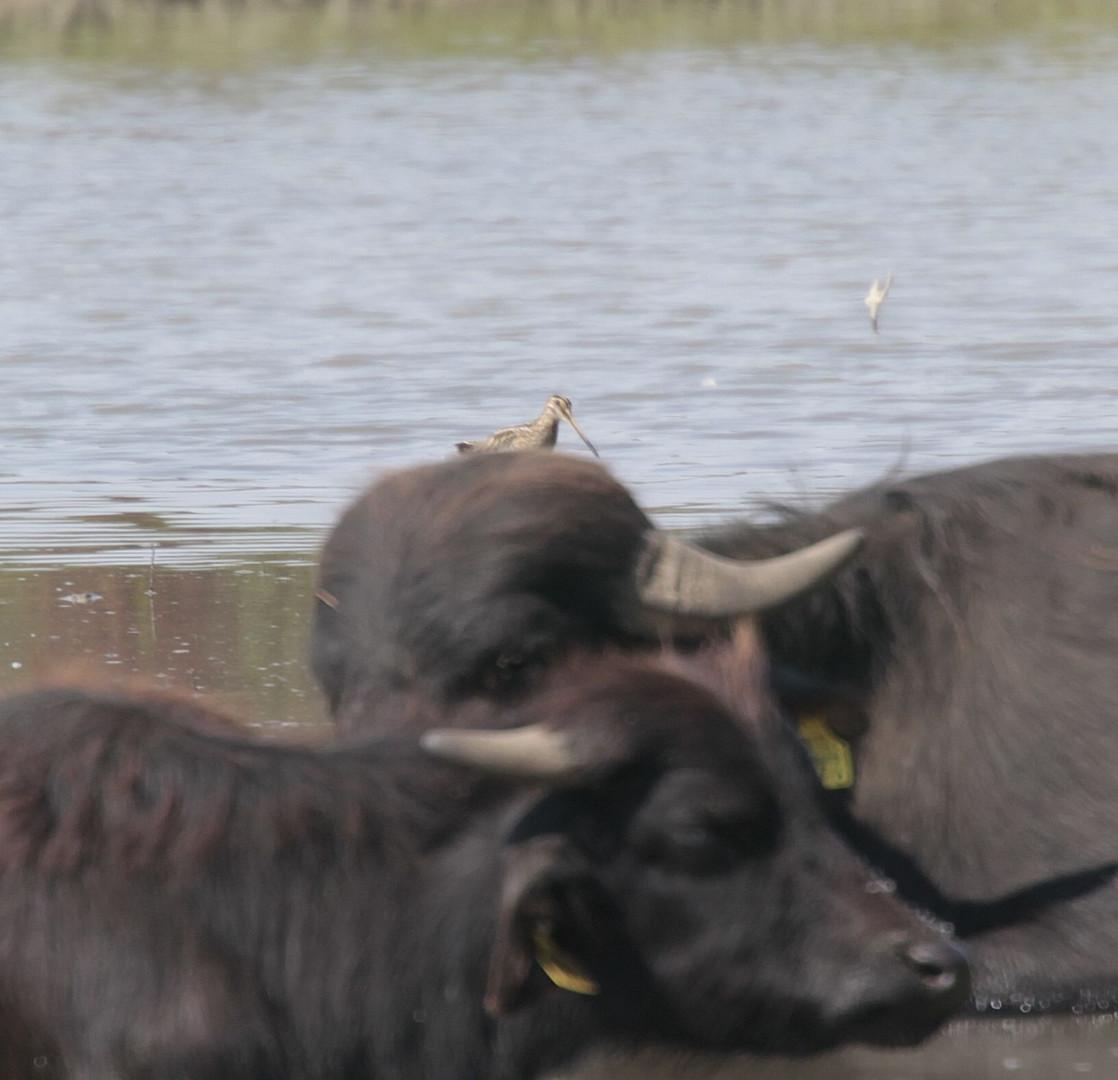 Wasserbüffelbekassine