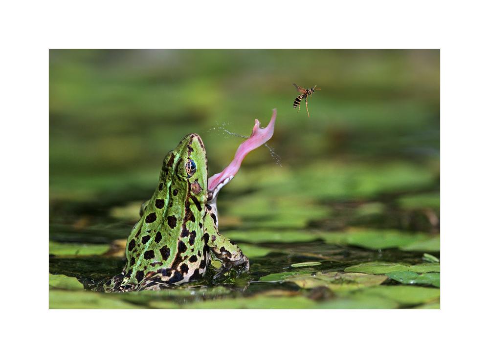 Wasserfrosch bei der Jagd