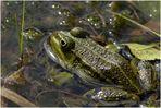 Wasserfrosch II ...
