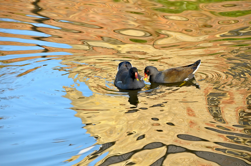 Wasserhühner