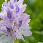 Wasserhyazinthe (Eichhornia crassipes)..