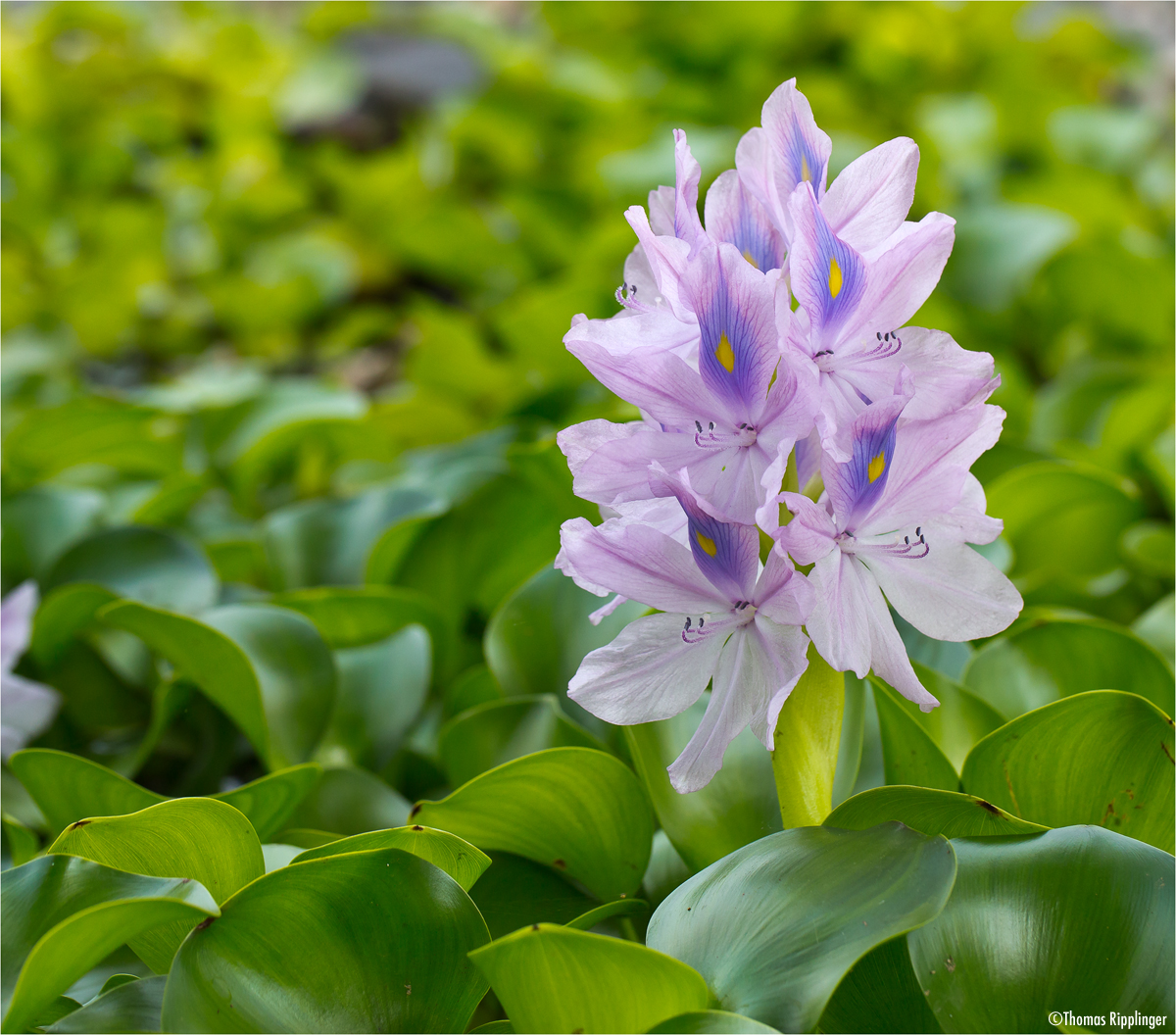 Wasserhyazinthe (Eichhornia crassipes)