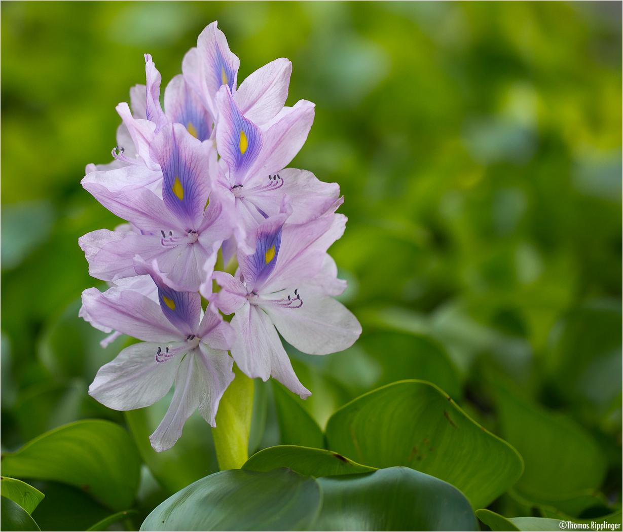 Wasserhyazinthe (Eichhornia crassipes).