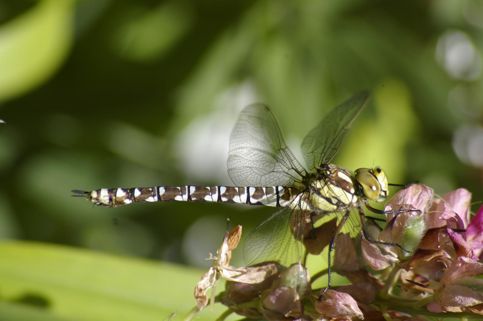 Wasserjungfer, Libelle