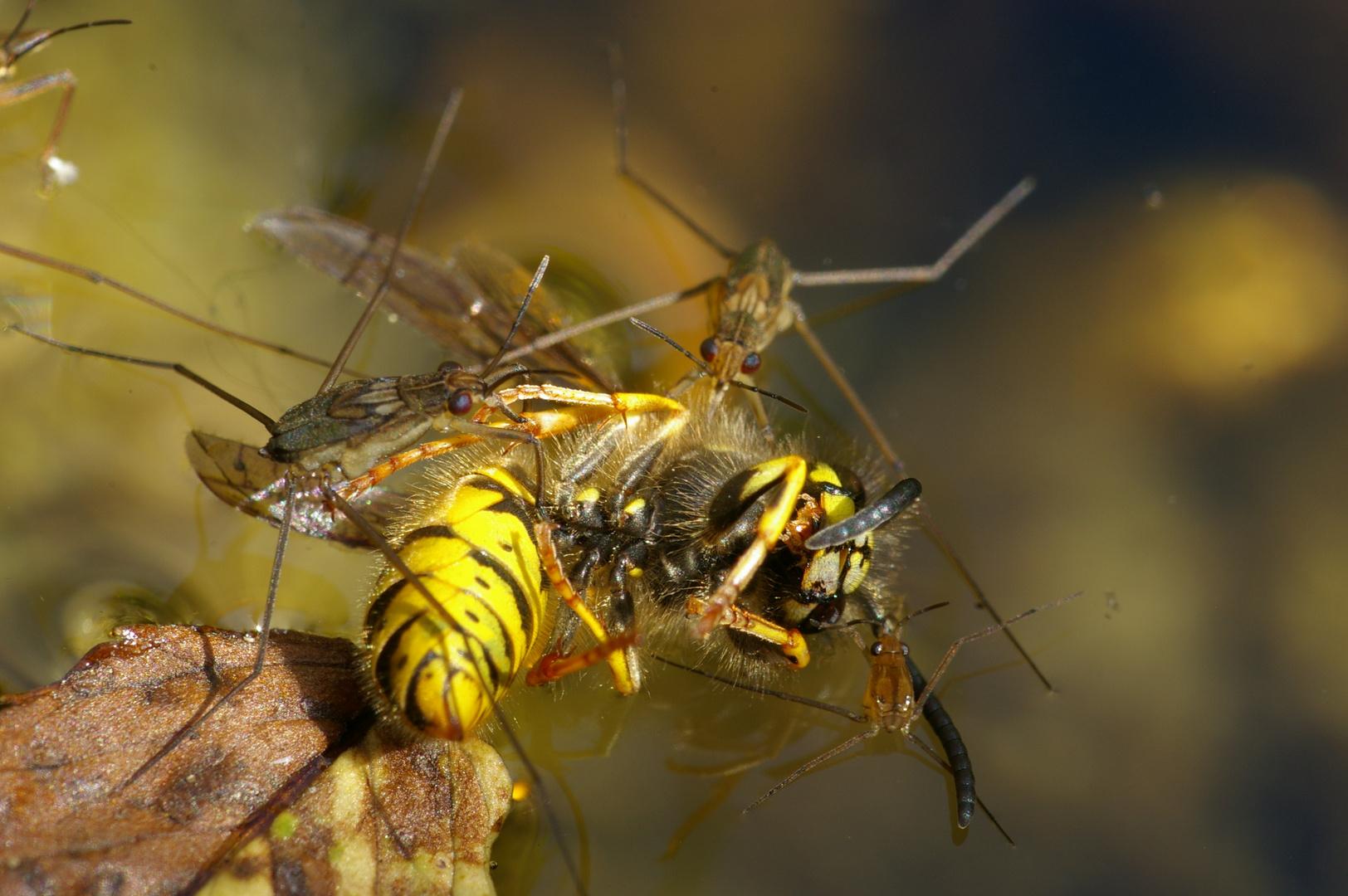 Wasserläufer vs. Wespe