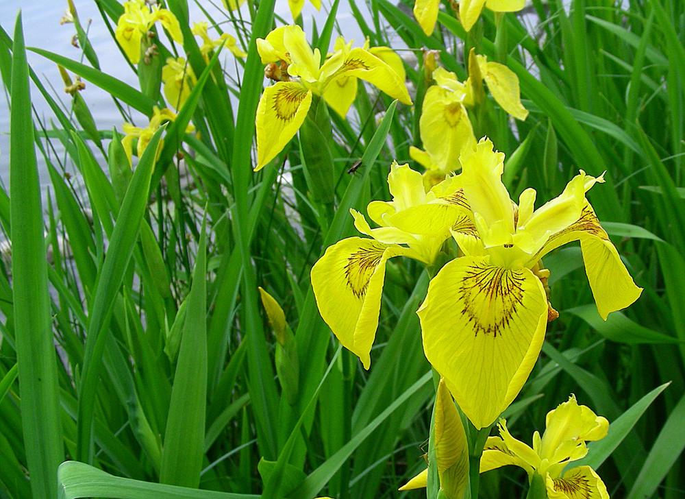 wasserlilie foto bild pflanzen pilze flechten bl ten kleinpflanzen wasserpflanzen. Black Bedroom Furniture Sets. Home Design Ideas