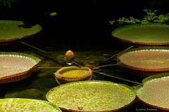 """Wasserlilie """"Victoria Amazonica"""" (1)"""