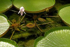 """Wasserlilie """"Victoria Amazonica"""" (2)"""