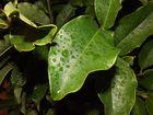 Wasserperlen auf Blätter