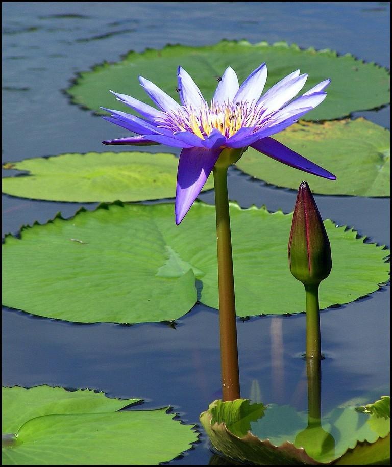 Wasserrose
