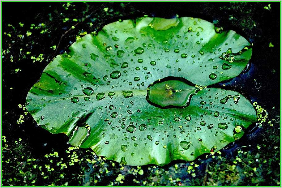 Wassersammlerblatt