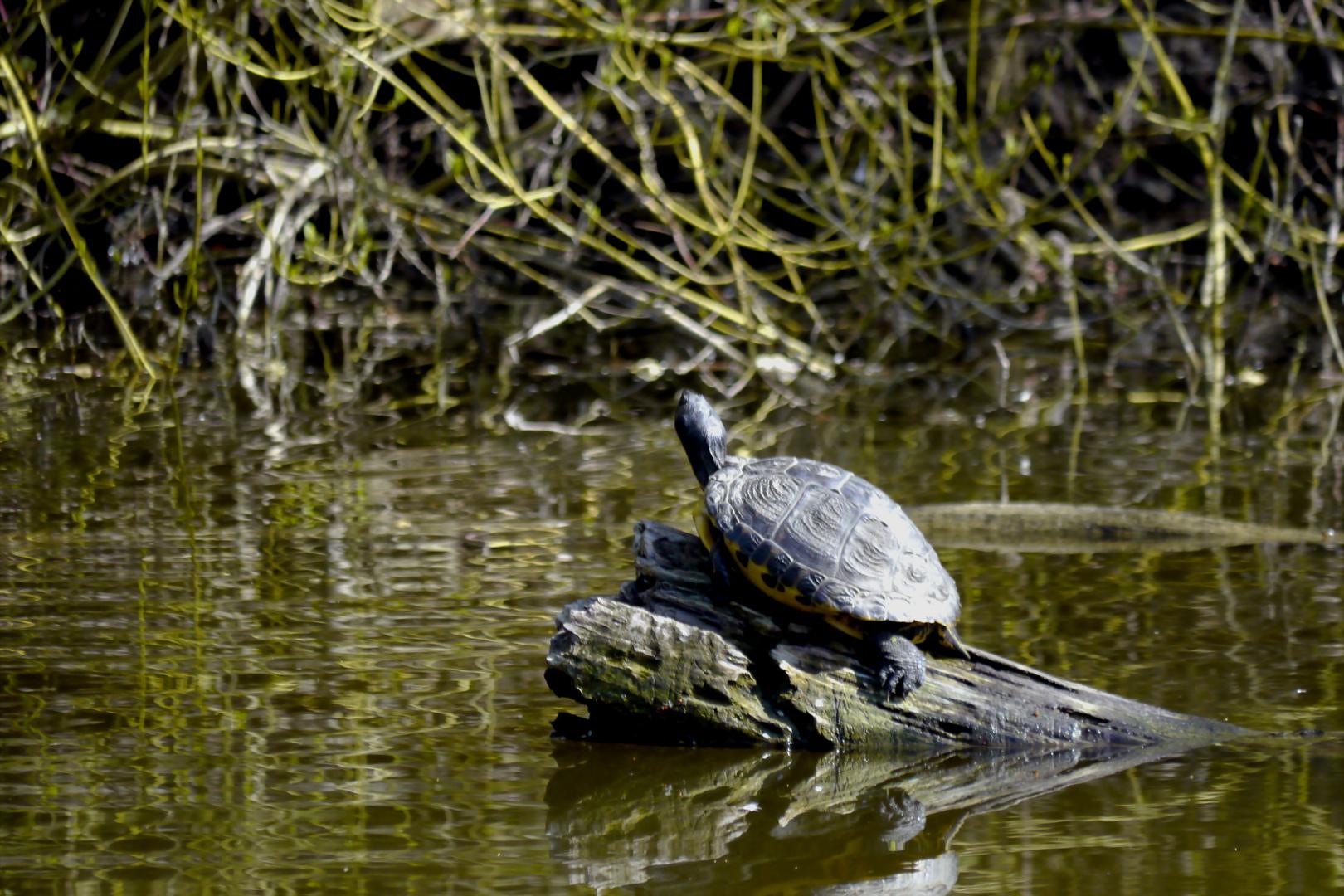 Wasserschildkröte genießt die Frühlingssonne