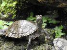 Wasserschildkröte2