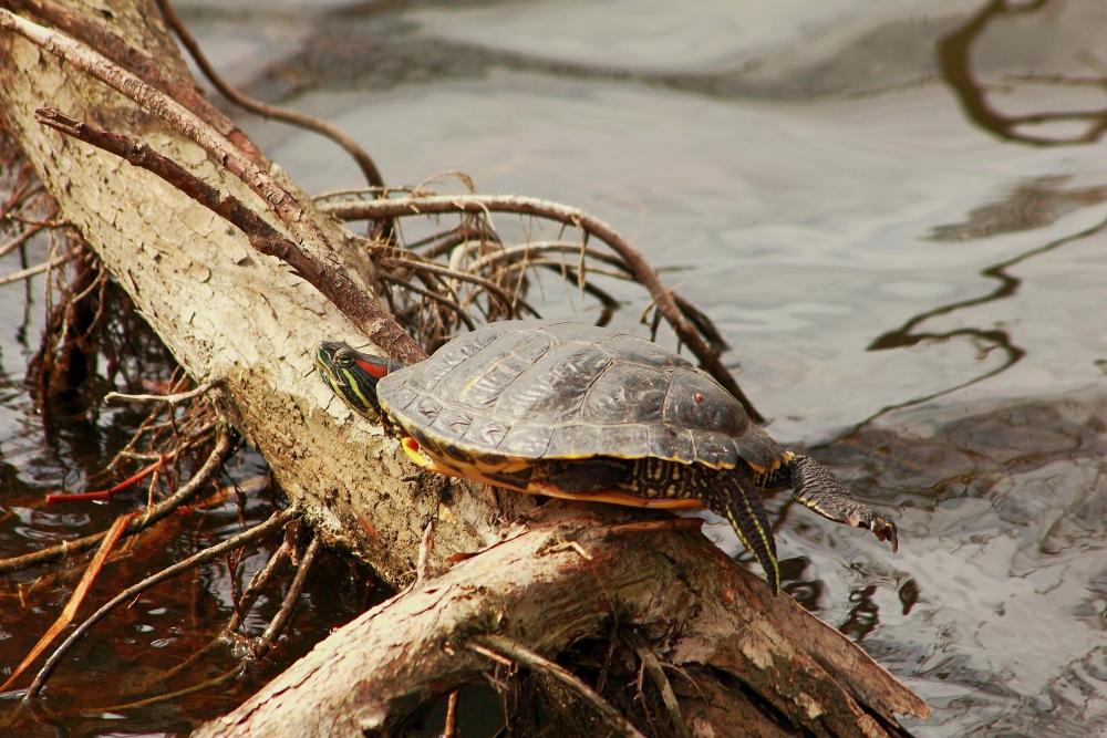 Wasserschildkröte...die wurde wohl einfach ausgesetzt