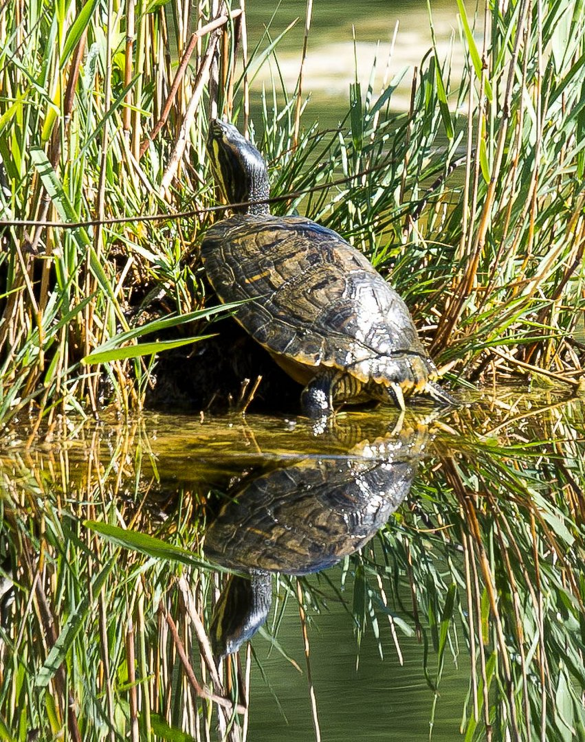 Wasserschiltkrot im Naturschutzgebiet Kalternsee