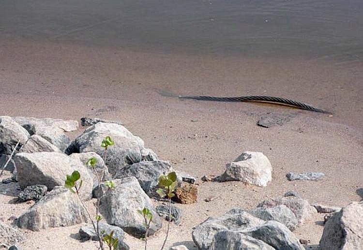 Wasserschlange
