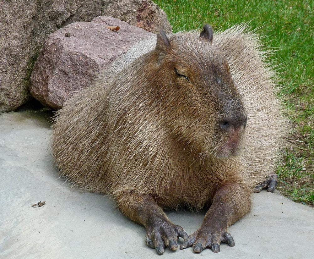 Wasserschwein oder Capybara (Hydrochoerus hydrochaeris)