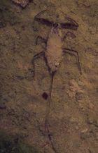 Wasserskorpion in der Geröllwüste Namibias