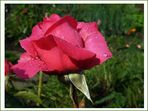 Wassertröpfchen-Rose (1)