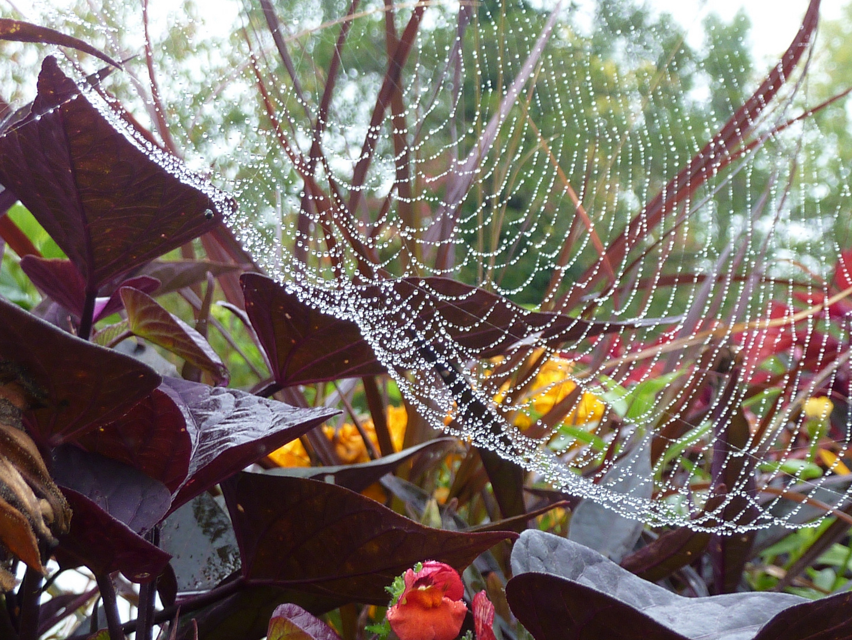 Wassertröpfchenperlenspinnennetz