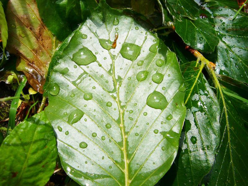 - Wassertropfen an Blattgrün -