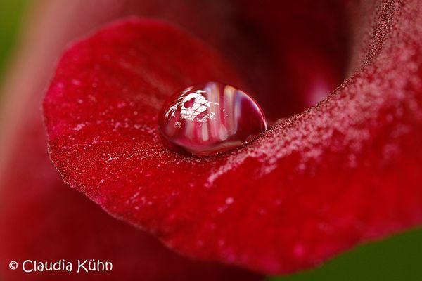 Wassertropfen auf Blütenblatt - 2