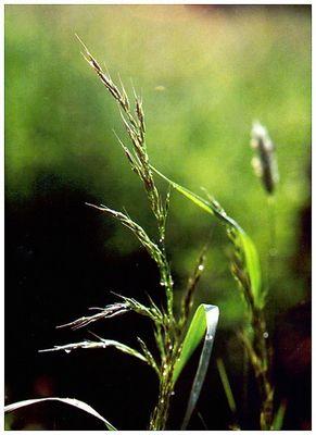 Wassertropfen auf Gräsern