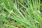 Wassertropfen auf Grashalmen