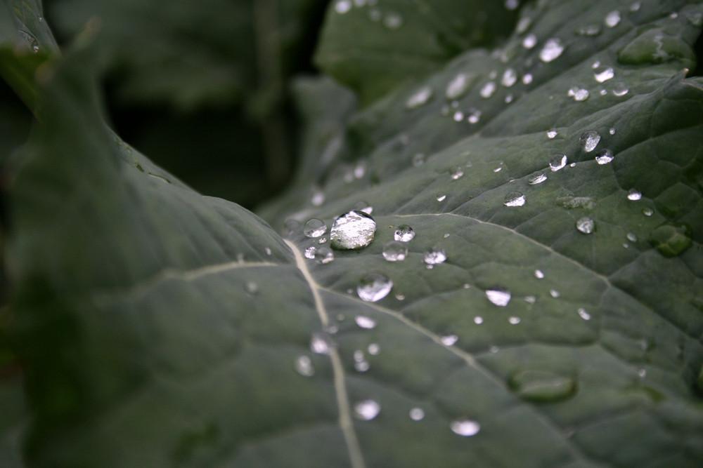 Wassertropfen auf Kohlblatt
