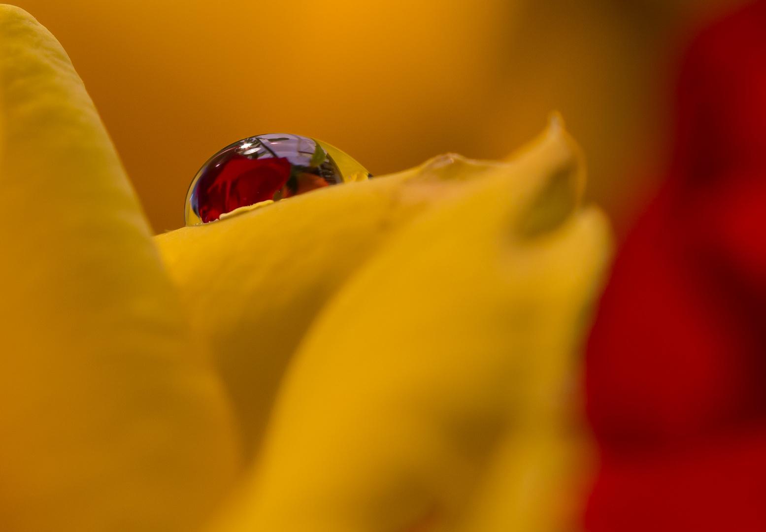 Wassertropfen auf Rose mit Rose