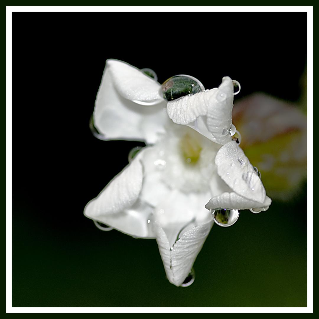 Wassertropfen auf weißer Blüte