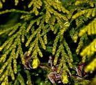 Wassertropfen im Baum (Tuja)