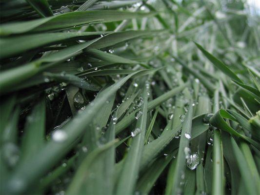 Wassertropfen in hohem Gras