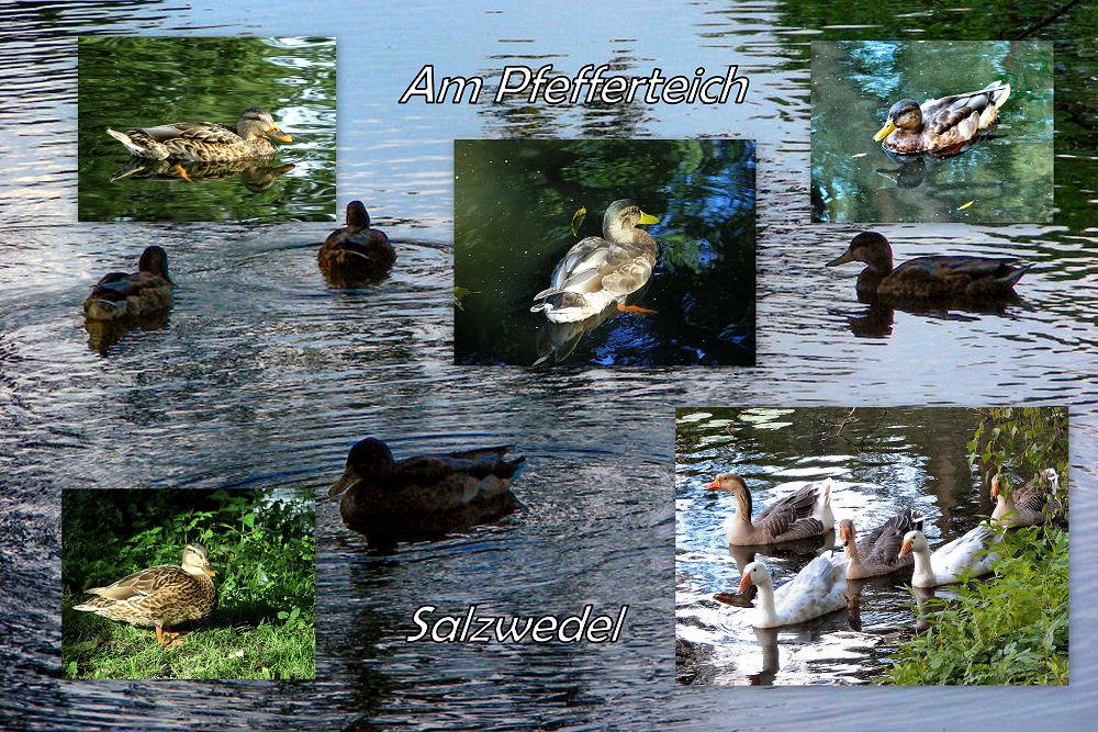 Wasservögel am Pfefferteich