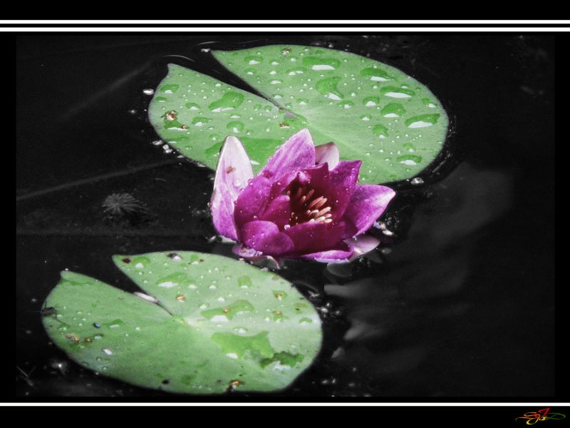 Water Lilly by Sandra Jacobs
