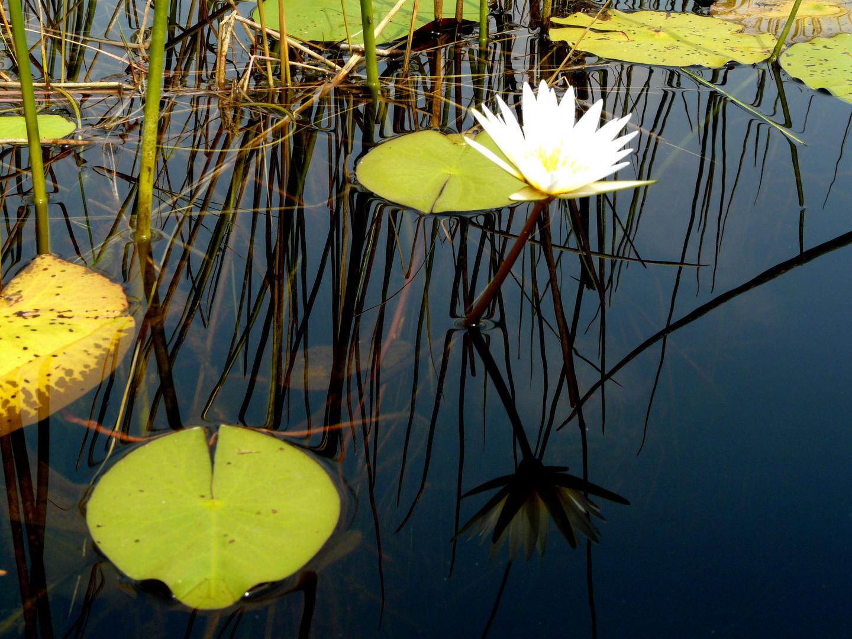 Waterlily im Okavanga