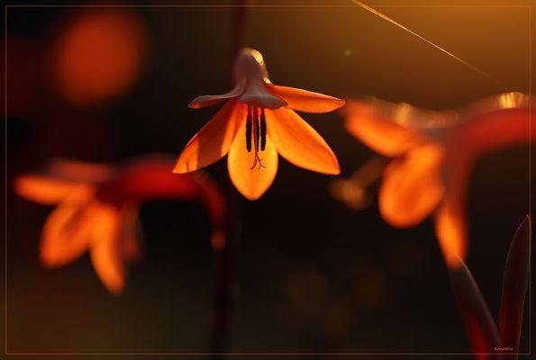 Watsonia bulbilifera