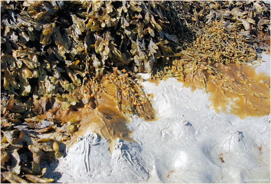 Wattwürmer und Blasentang