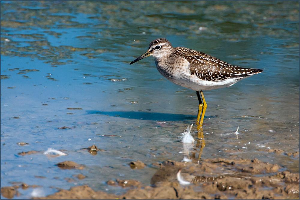 Watvögel: Bruchwasserläufer (2)